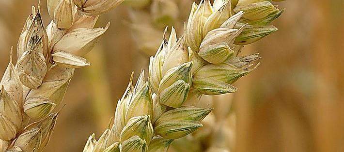 grano monococco