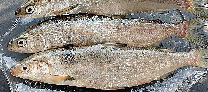 fish & chef 2018 lago garda