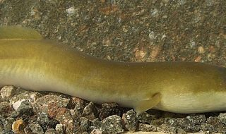 inquinamento da cocaina danni anguille
