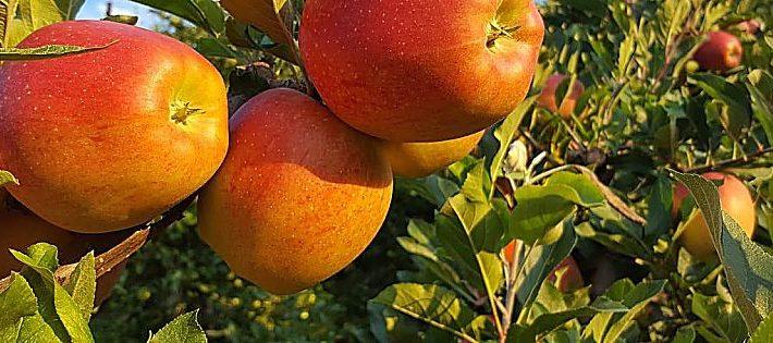 mele del trentino igp