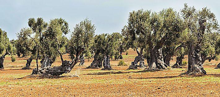 rigenerazione olivicola della puglia