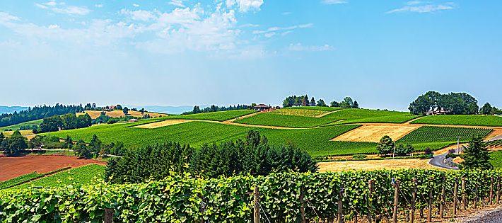 champagne bollinger ponzi vineyards